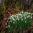 Snowdrops in Scotland mean spring has come and Beltane is not far off.